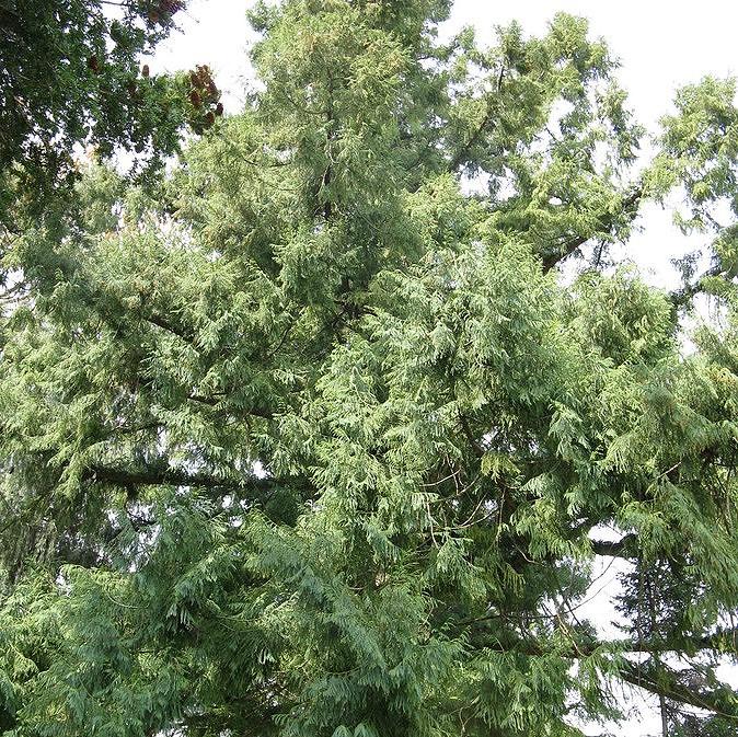 是「看見台灣」森林版,澳洲團隊來台捕捉20樓高台灣杉英姿這篇文章的首圖