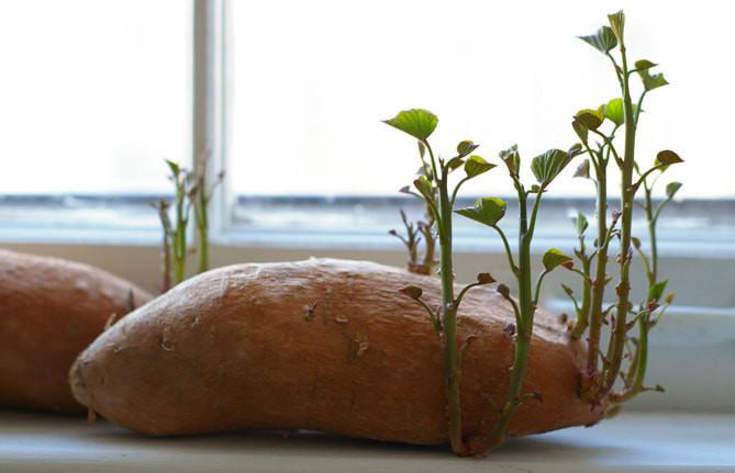 是馬鈴薯發芽還可吃嗎?這篇文章的首圖