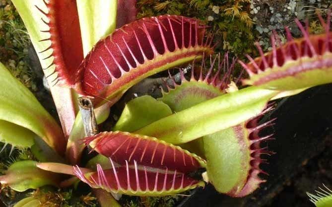 是植物界的葷食者-捕蠅草!這篇文章的首圖