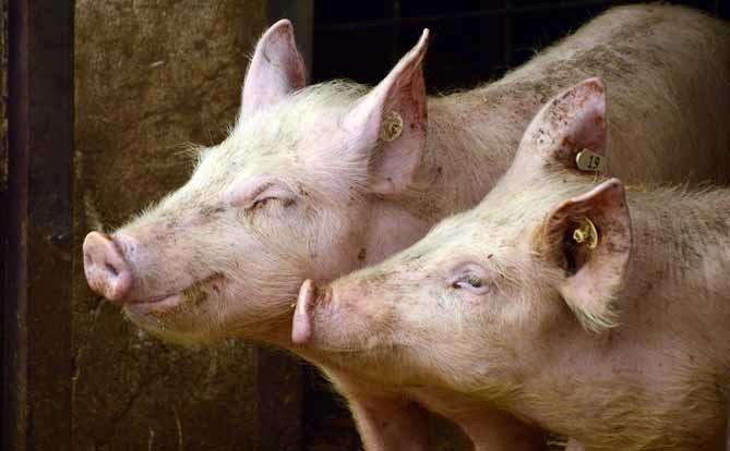 照片中包含了家養豬、家養豬、肉類包裝行業、非洲豬瘟病毒、豬肉
