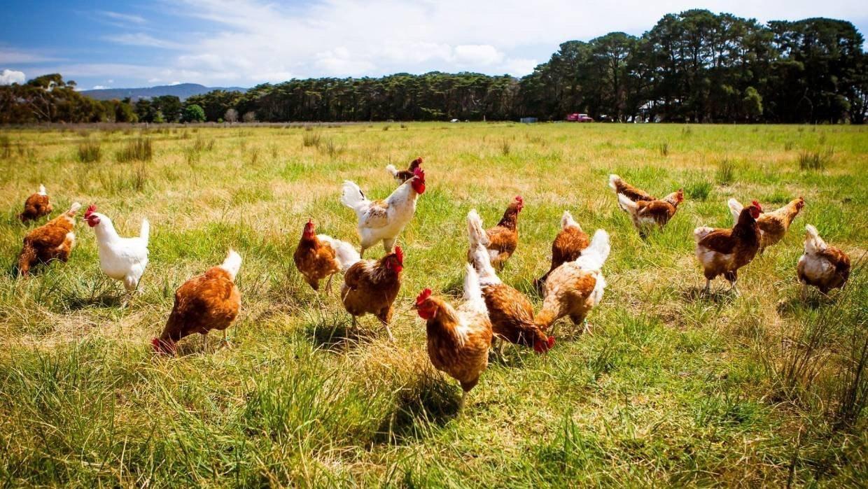 照片中包含了免費雞、雞、免費範圍、家禽、散養雞蛋