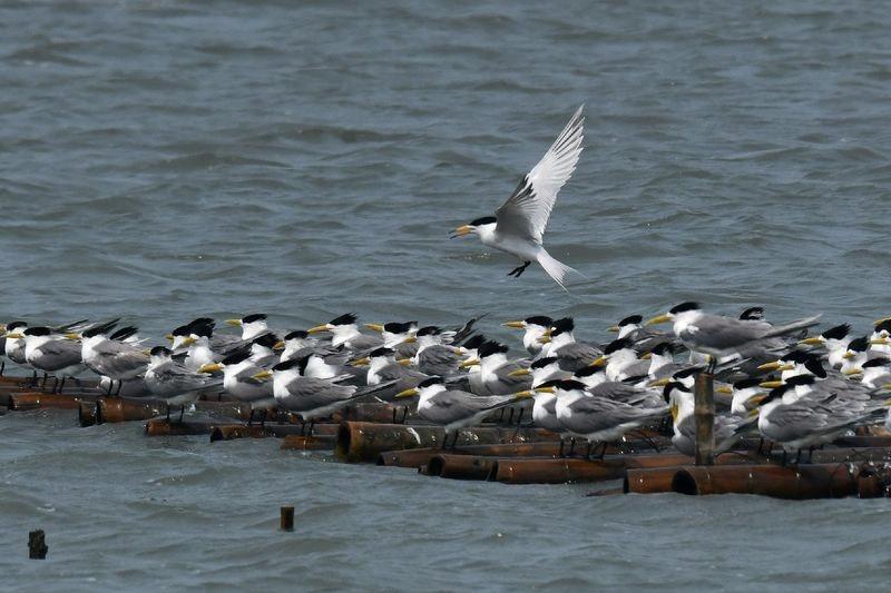 照片中包含了水、中國鳳頭燕鷗、2019–20年冠狀病毒大流行、歐洲鯡鷗、武漢市