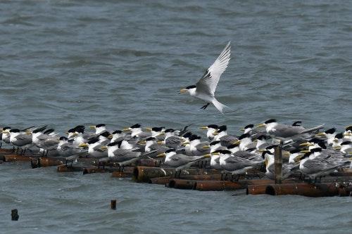 百年未見全球只有50隻 「神話之鳥」黑嘴端鳳頭燕鷗現身台南
