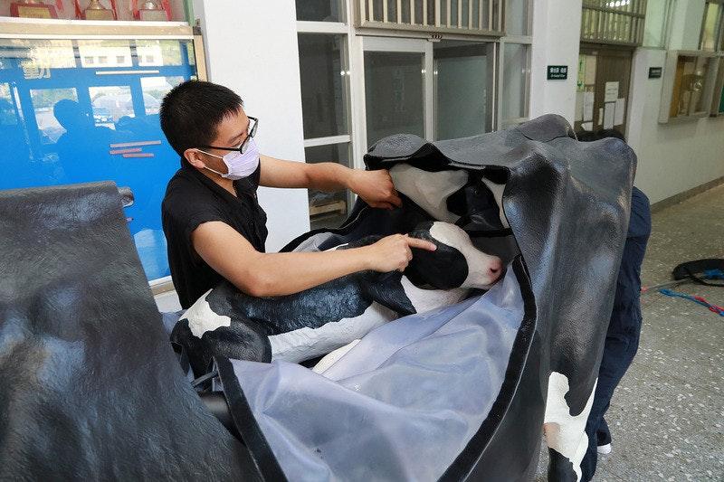 中興大學引進模擬乳牛 讓學生和銀之匙一樣學會接生小牛