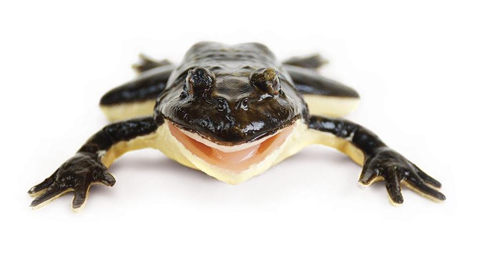 照片中包含了合成青蛙、青蛙、解剖、狗、像青蛙一樣生活