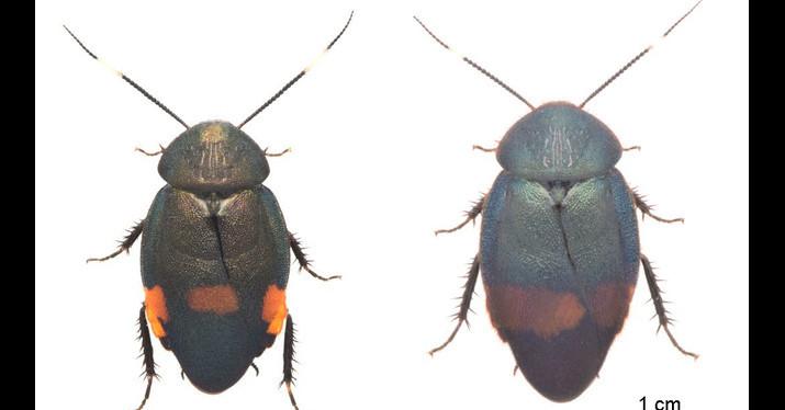 照片中提到了1 cm,包含了甲蟲、甲蟲、節肢動物、蟑螂-M、蟑螂