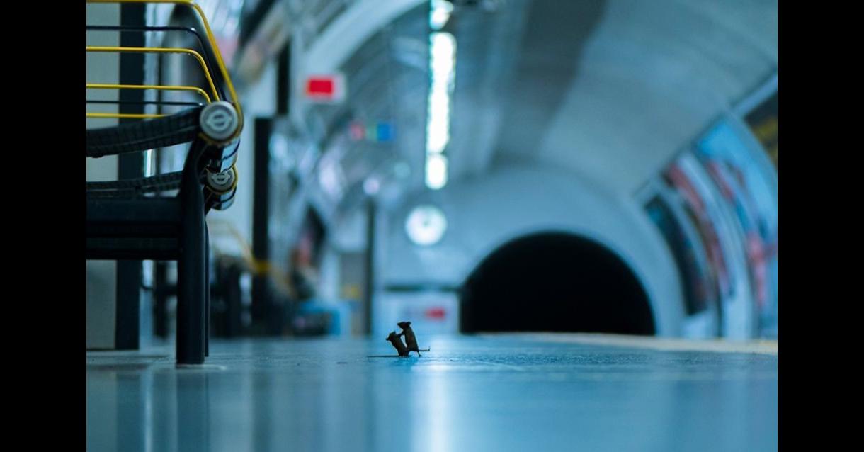 照片中包含了倫敦地下戰鬥的老鼠、倫敦地鐵、倫敦、培養、照片