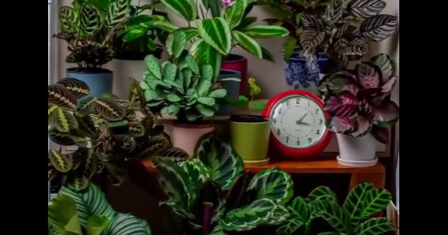 室內觀葉植物「做體操」的一天