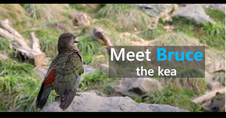 照片中提到了Meet Bruce、the kea,包含了動物群、凱亞、鸚鵡、鳥類、大的
