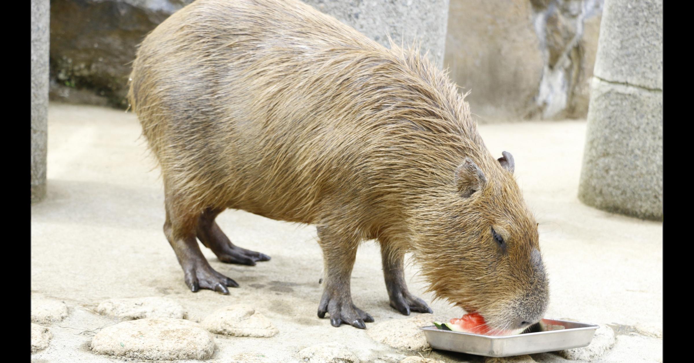 照片中包含了水豚、水豚、埼玉儿童動物園、伊豆煞波天動物園、長崎生物公園
