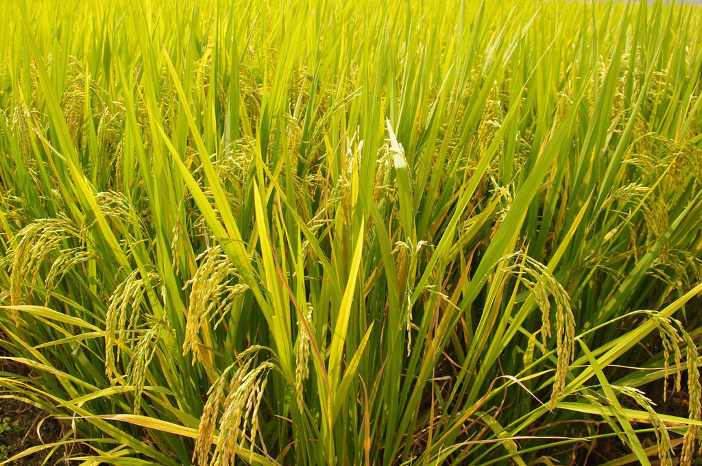 [面白日本] 為了這個神嘗祭,日本最重要的神宮還得自己種稻米!