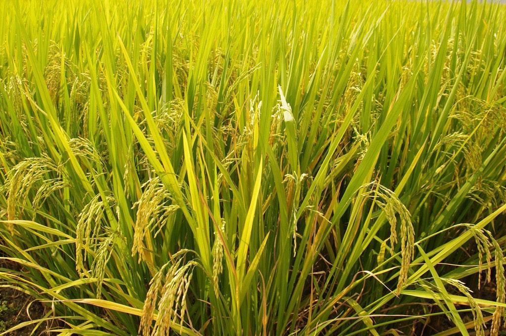 是[面白日本] 為了這個神嘗祭,日本最重要的神宮還得自己種稻米!這篇文章的首圖