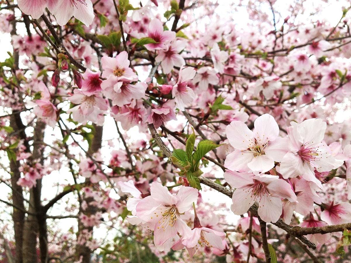 Cherry blossom, ST.AU.150 MIN.V.UNC.NR AD, Prunus, Shrub, Subshrub, Blossom, Cherries, Pink M, blossom, Flower, Flowering plant, Blossom, Plant, Spring, Petal, Branch, Cherry blossom, Pink, Tree