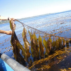 是[新技新報]海帶 + 大腸桿菌 = 新能源?這篇文章的首圖