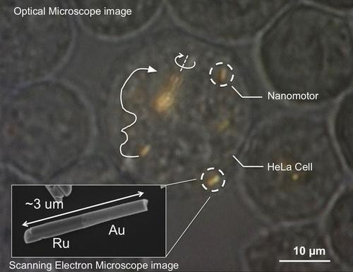 是奈米動機(nanomotors)首次於活細胞內試駕成功這篇文章的首圖