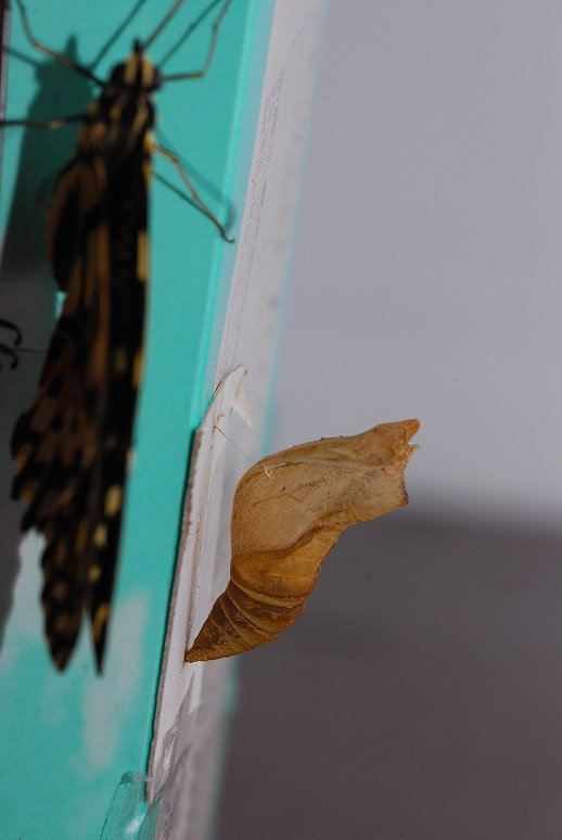 是[生態]無尾鳳蝶這篇文章的首圖
