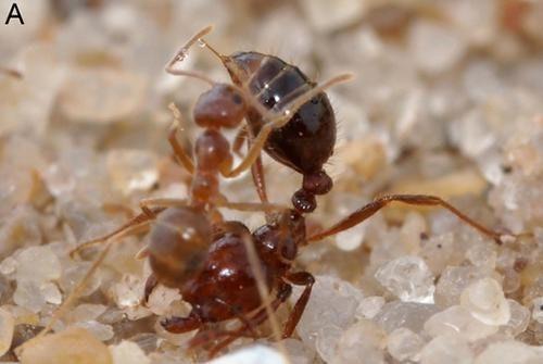 是瘋黃蟻(Nylanderia fulva)教你一秒變抖M(大誤)這篇文章的首圖