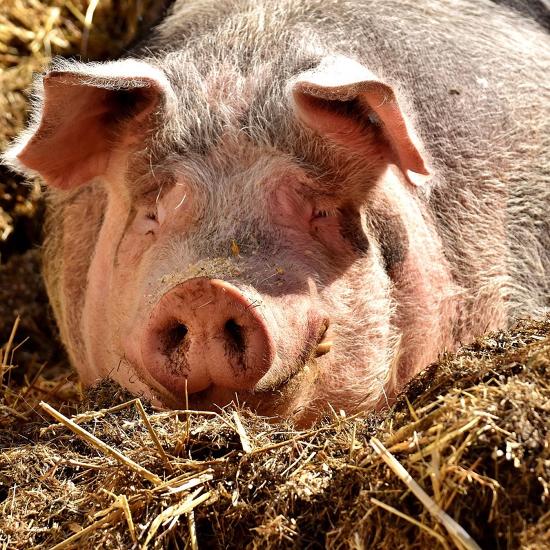 是豬瘟病毒不會跨物種傳染,但仍得做好3件事守護國產豬這篇文章的首圖