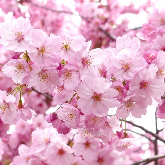 是連假賞櫻正是時候!推薦5個台灣賞櫻好去處這篇文章的首圖